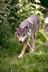 Wölfe sind in Deutschland auf dem Vormarsch – eine Gefahr für Pferde?